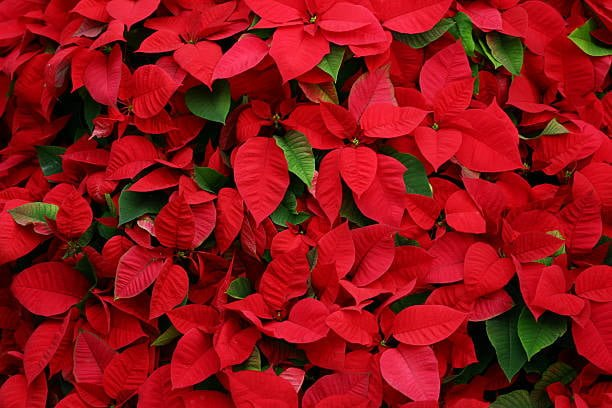 How Often Should You Water Poinsettias