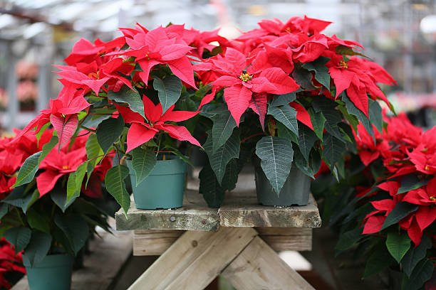water poinsettias