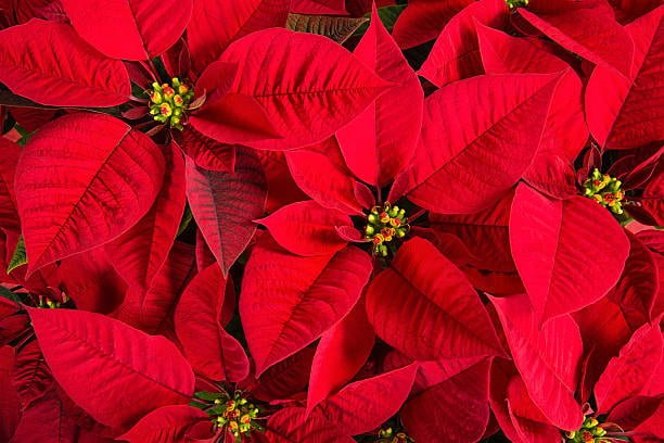watering poinsettias